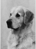 Golden Retriever Named Cabus Cadet (Nickname Paddy) Photographic Print