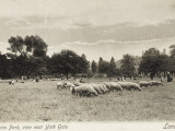 Sheep Graze in Regents Park Photographic Print