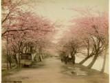 Japanese Cherry Blossom in Mukojima Tokyo Japan Photographic Print