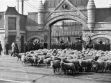 Sheep Arriving at the Chicago Stockyards to Be Converted into Legs of Mutton and Lamb Chops Photographic Print