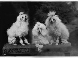 Mini Poodle Trio Photographic Print