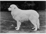 Crufts, Pyrenean Dog Photographic Print