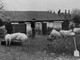 Boys Tending Pigs, Niprcc East Harling, Norfolk Photographic Print by Peter Higginbotham