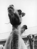 Camel Goatie Photographic Print