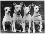 A Group of Four Miniature Bull Terriers Sit Quietly Looking at the Camera. Owned by Adlam Photographic Print