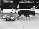 An Ingenious Dog Pulls its Bone Home on a Roller Skate! Photographic Print
