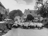Sheep Going to Market Photographic Print
