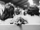 Manchester Dog Show 1975 - Poodle Photographic Print by Shirley Baker