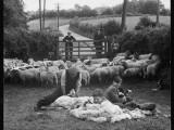 Shearing Sheep, Wales Reprodukcja zdjęcia autor Henry Grant