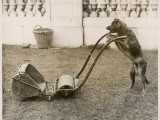 Dog Mowing the Lawn Photographic Print