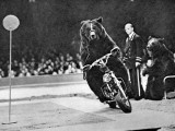 Brown Bear Riding a Motorcycle at the Bertram Mills Circus Photographic Print