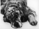 Setter Photographic Print