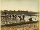 Planting Rice in Paddy Fields Photographic Print