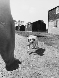 An Army Sniffer Dog Retrieves a Revolver it Has Sniffed Out! Photographic Print