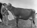Prizewinning Heifer 1950 Photographic Print by Henry Grant