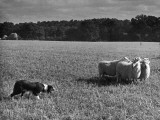 Sheep Dog Trials, Kent Photographic Print