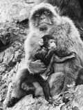 A Proud Mother Barbary Ape and Her Baby Ape on the Rock of Gibraltar Photographic Print