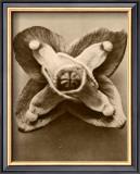 Sepia Botany Study V Prints by Karl Blossfeldt