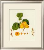 Prunus Armeniaca Poster