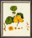 Prunus Armeniaca Posters