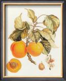 Abricot Peche Print