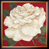 Rosa Blanca Grande II Prints by Judy Shelby