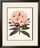 Pink Rhododendron I Poster by Francois Van Houtte