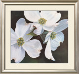 Dogwood Study Posters by Ginny Chenet