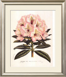 Pink Rhododendron I Posters by Francois Van Houtte