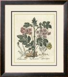 Besler Floral V Print by Besler Basilius