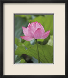 Pink Lotus Prints by B. Tanaka