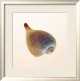 Fig Shell Poster von Tom Artin