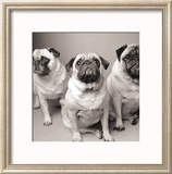 Three Pugs Arte por Amanda Jones