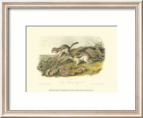 Marmot Squirrel Posters by John James Audubon