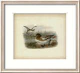 Redcrested Pochard Prints by J. G. Keuleman