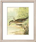 Woodduck Female Prints by Ridgway