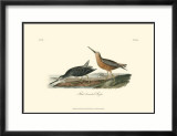 Red-Breasted Snipe Affiches par John James Audubon