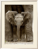 Baby Elephant Posters by Andy Rouse