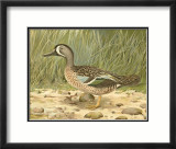 Blue-Wing Teal Prints by Ridgway