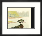 Woodduck Male Posters by Ridgway