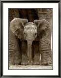 Baby Elephant Prints by Andy Rouse