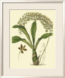 Antique Orchid Study IV Prints by Syndenham Edwards