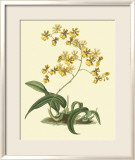Antique Orchid Study I Print by Syndenham Edwards