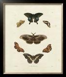 Butterflies III Print by George Wolfgang Knorr