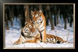 Tigres Poster by Gilles Santantonio