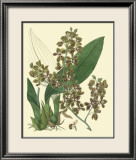 Antique Orchid Study III Print by Syndenham Edwards