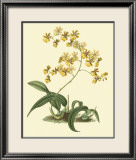 Antique Orchid Study I Posters by Syndenham Edwards