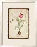Tulipa Aureicoloris Posters by Lisa Canney Chesaux