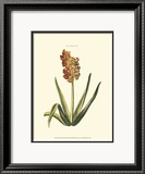 Antique Hyacinth XV Prints by Christoph Jacob Trew