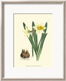 Yellow Narcissus II Poster von Van Houtt 